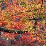 箕面の紅葉、見ごろはいつ?名物の『もみじ天ぷら』もぜひ!
