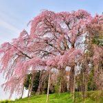 三春滝桜の見頃と開花状況、アクセスなど。渋滞を避けるには?