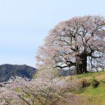 醍醐桜の見頃やアクセス、ライトアップまとめ!樹齢千年の桜を見に行こう