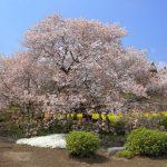 狩宿の下馬桜、見頃と開花状況は? 頼朝も愛でた桜を見に行こう