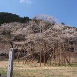 根尾谷淡墨桜の見頃と開花状況、アクセスは電車がオススメ